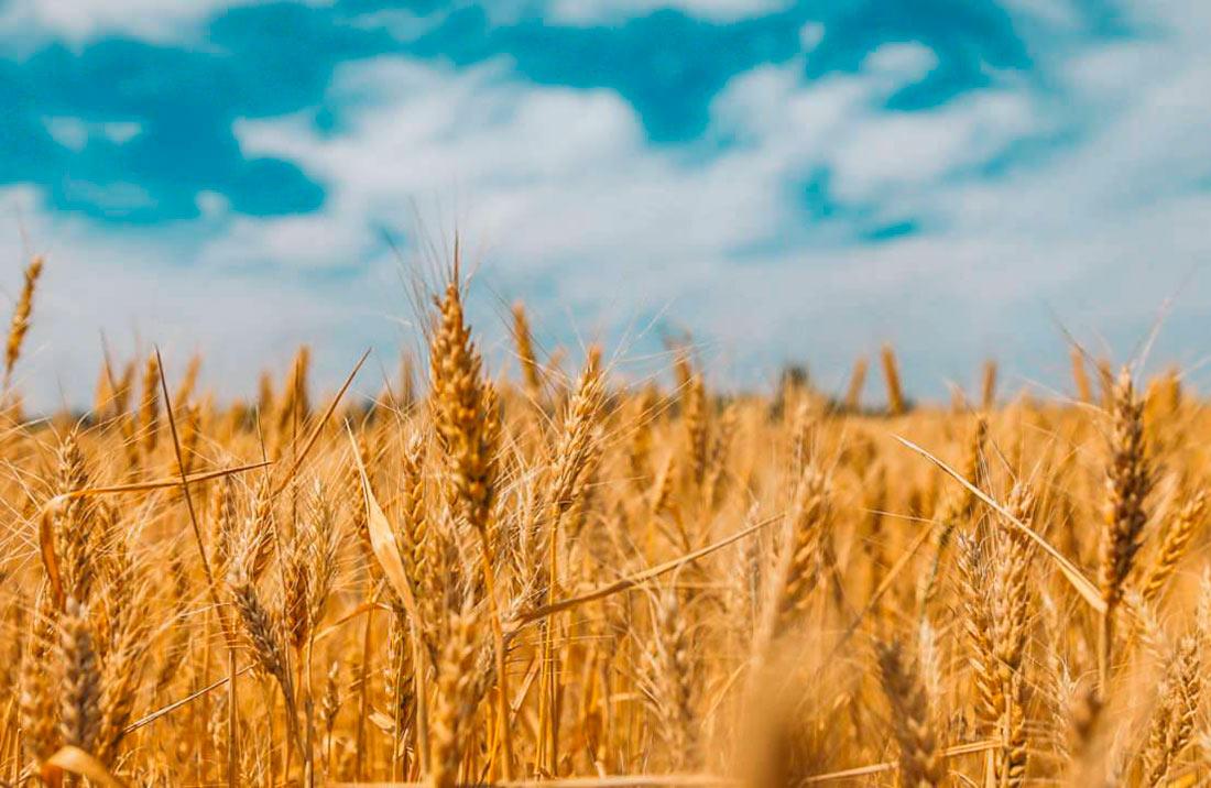 Британские ученые: урожайность пшеницы можно повысить вдвое