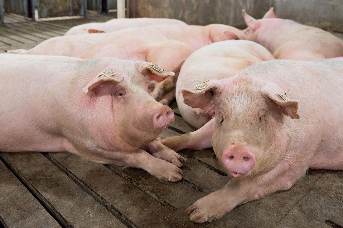 Государственная служба статистики распространила данные по поголовью свиней