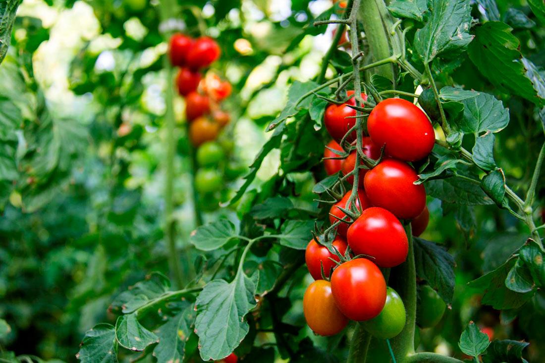 Исследователи предложили сверхточную технологию обнаружения заболеваний томатов