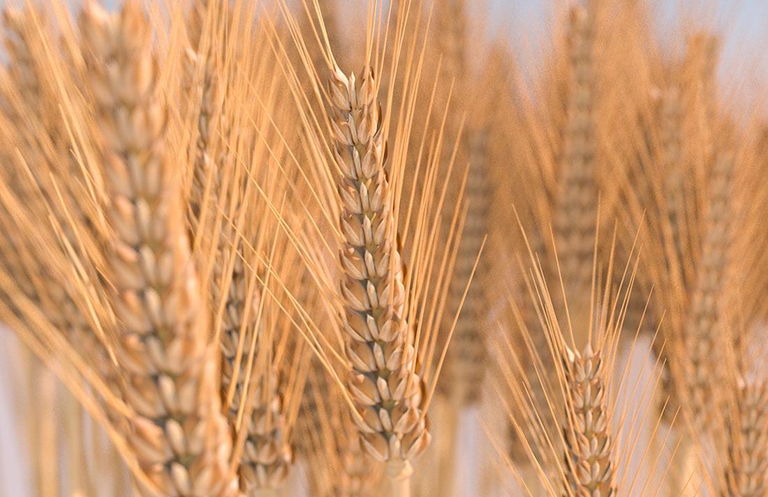 Поставки зерна: просто цифры