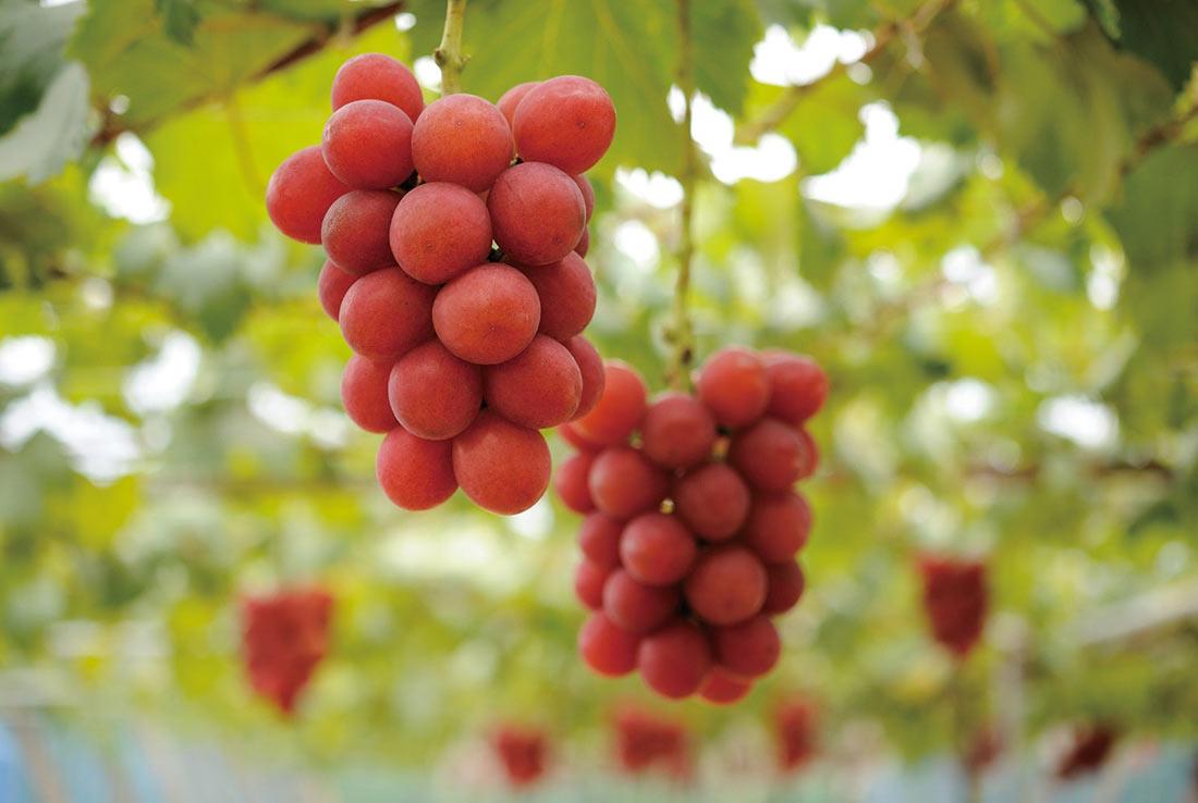 Самый дорогой виноград в мире (ФОТО)