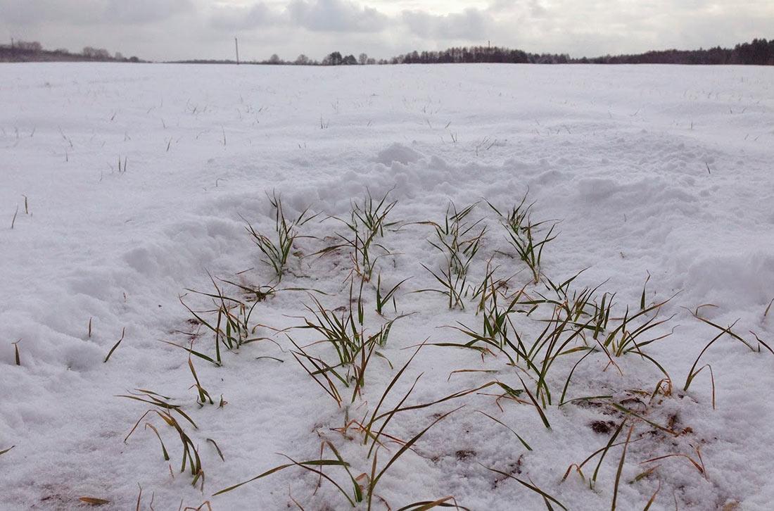 Теплая зима потенциально может представлять угрозу для культур