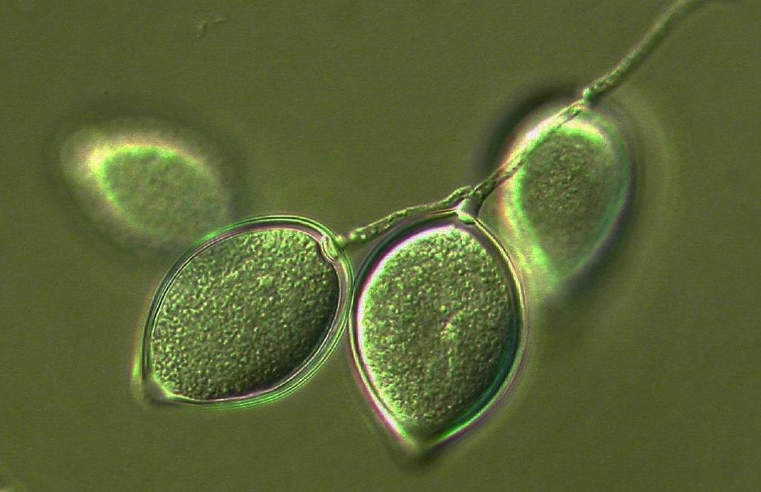 Ученые открыли новую разновидность фитофторы