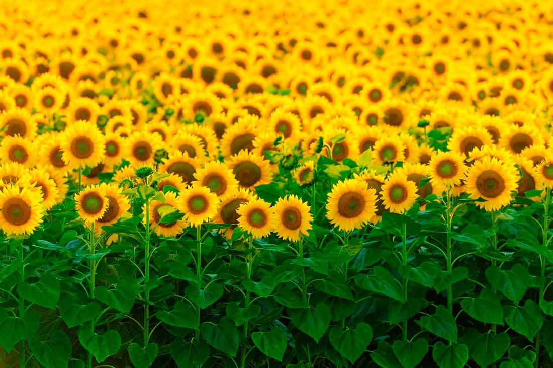 В этом году урожай подсолнечника оказался рекордным