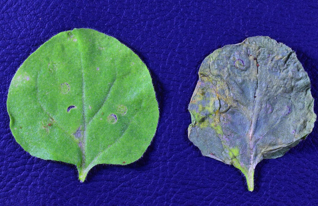 В ГМО-растениях обнаружили антибиотик, защищающий культуры от опасных заболеваний
