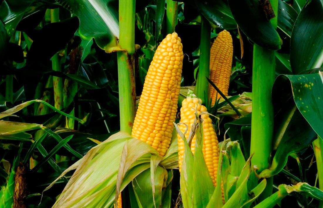Азия всерьез заинтересовалась украинской кукурузой