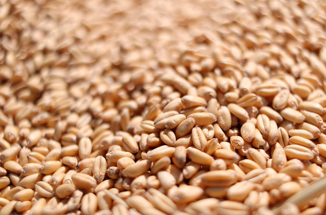Бангладеш может покупать больше украинской пшеницы
