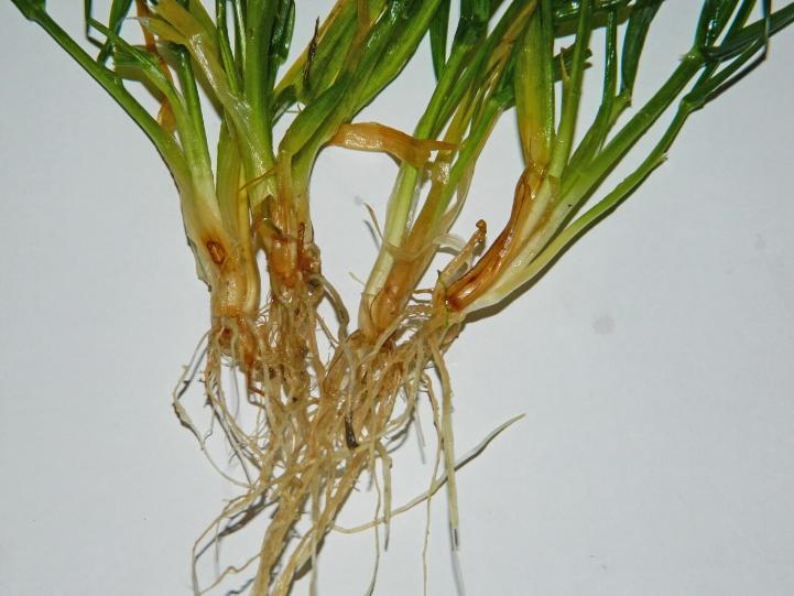 Гельмінтоспоріозна коренева і прикоренева гниль
