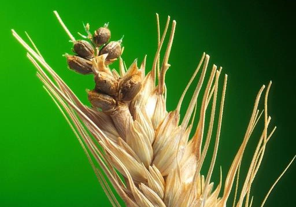 Карликова головешка пшениці