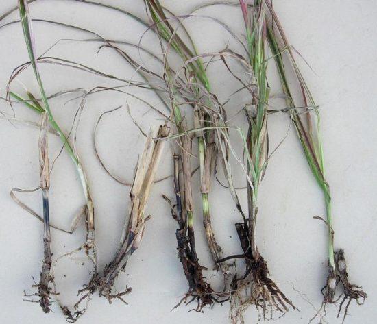 Офіобольозна коренева і прикоренева гнилі