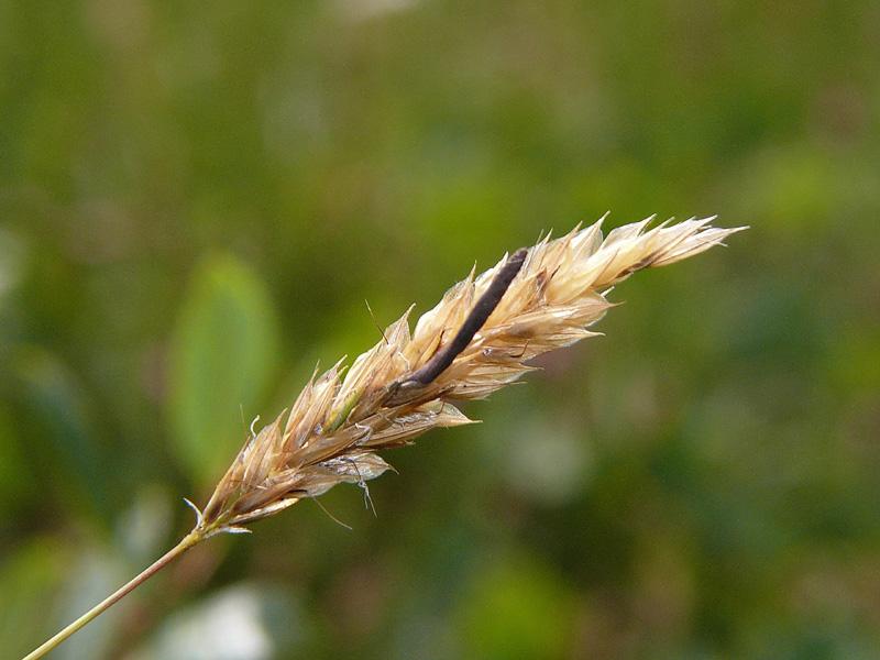 Ріжки пшениці