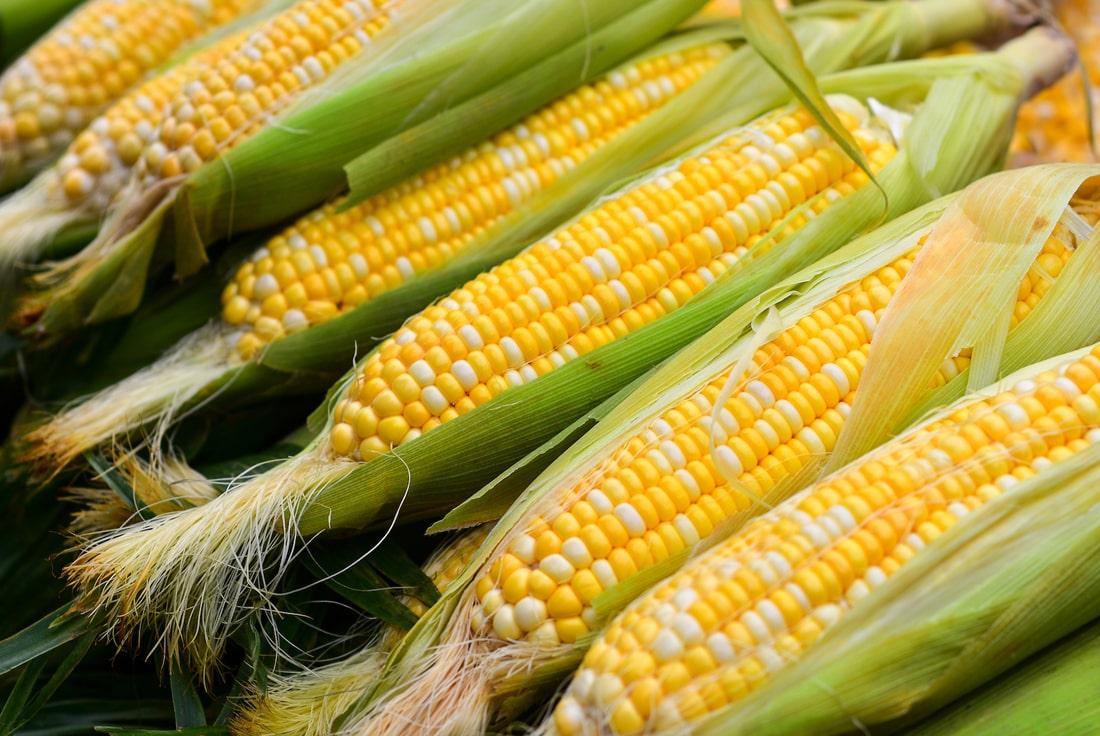 Ученые вывели устойчивую к низким температурам кукурузу