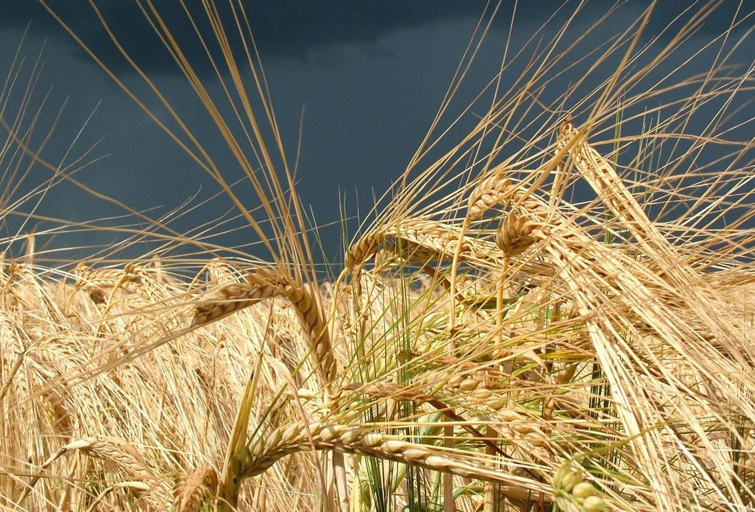 2020: Прогноз урожая зерновых и масличных пересмотрен в сторону снижения