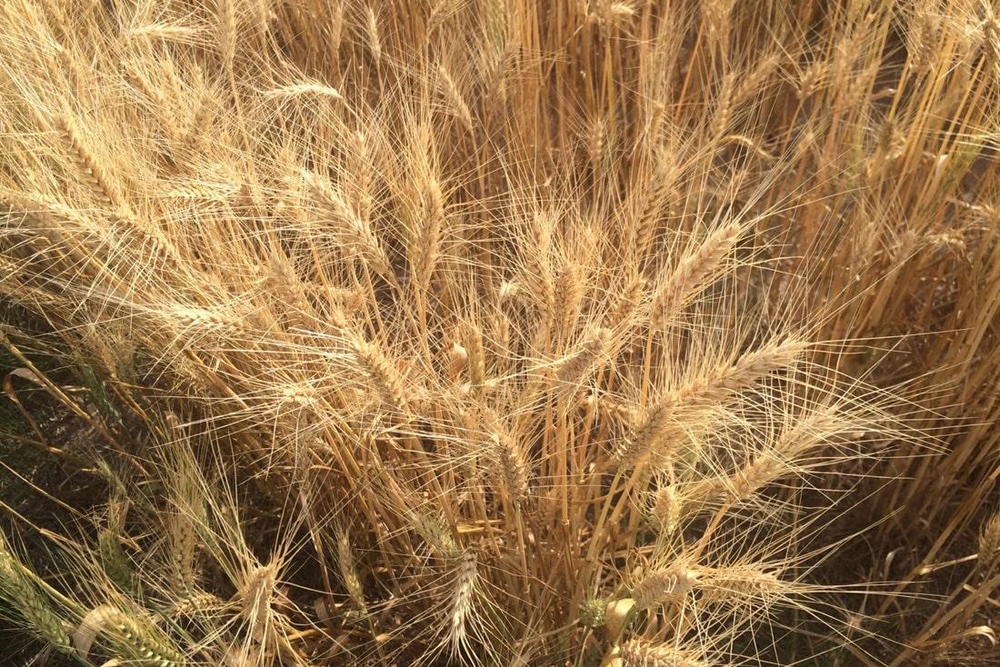 Исследователи разработали новую технологию скрининга пшеницы на стрессоустойчивость