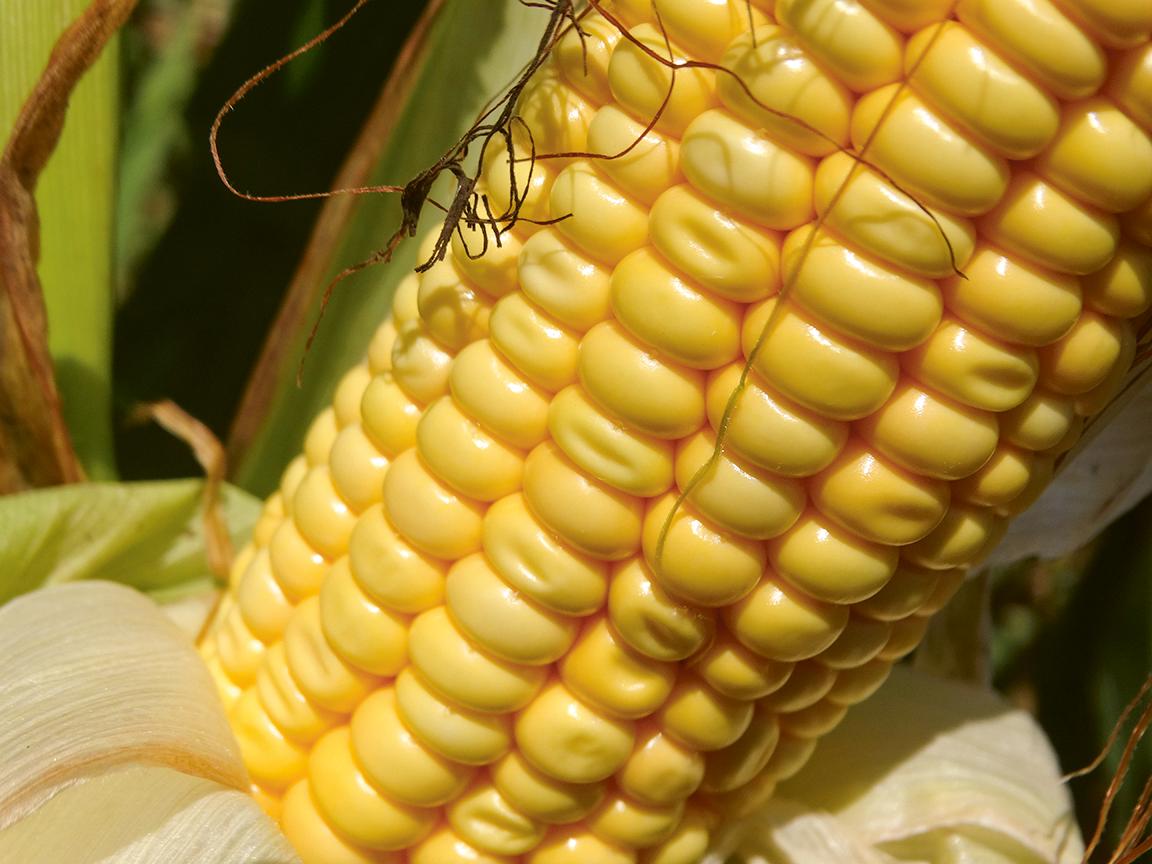 peeoner кукурудза