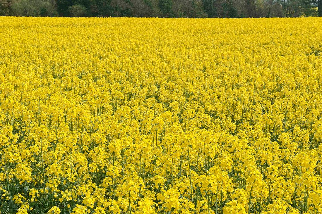 Украина теряет посевы озимого рапса