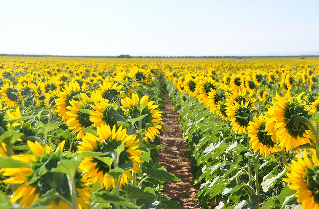 Аграрії успішно застосовують інноваційну методику боротьби з амброзією