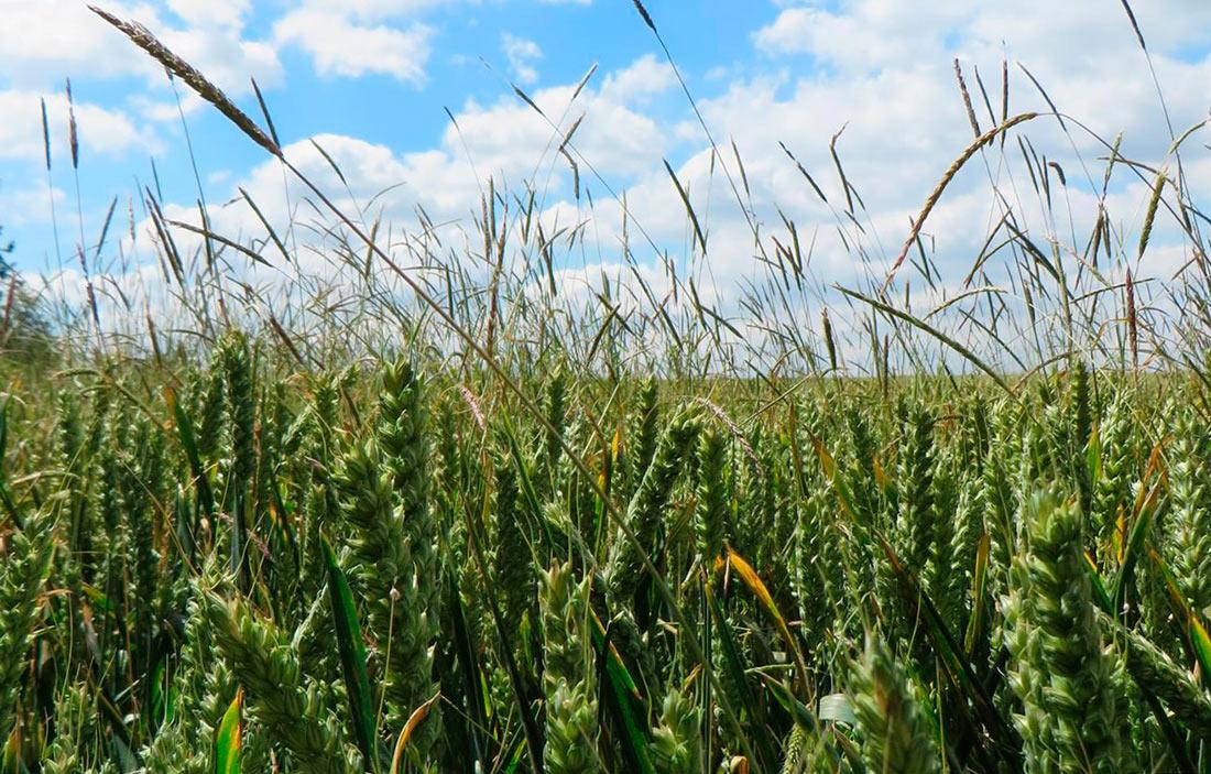Британские ученые обнаружили стремительное повышение устойчивости к гербицидам у лисохвоста мышехвостиковидного