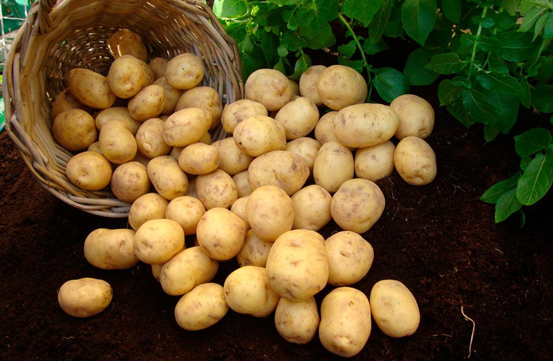 Картофелеводы обвиняют торговые сети в сговоре с трейдерами-импортерами