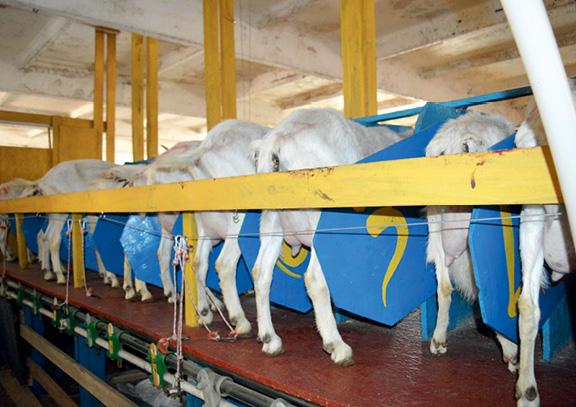 бабині кози