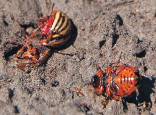 трупи жуків