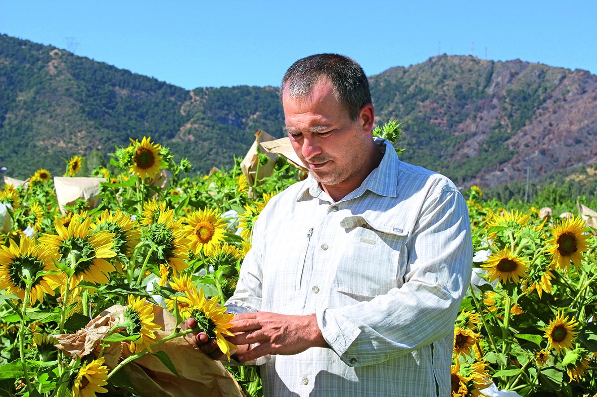 Соняшник для двох урожаїв на рік