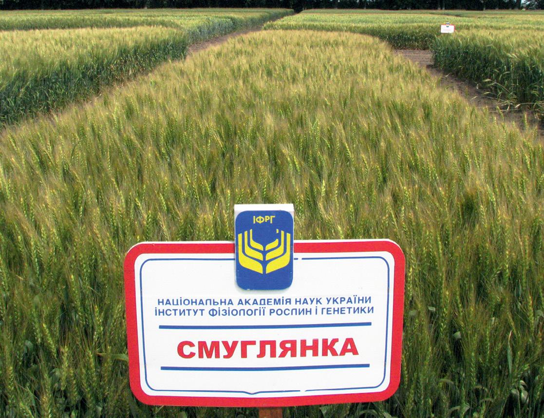 пшениця Смуглянка