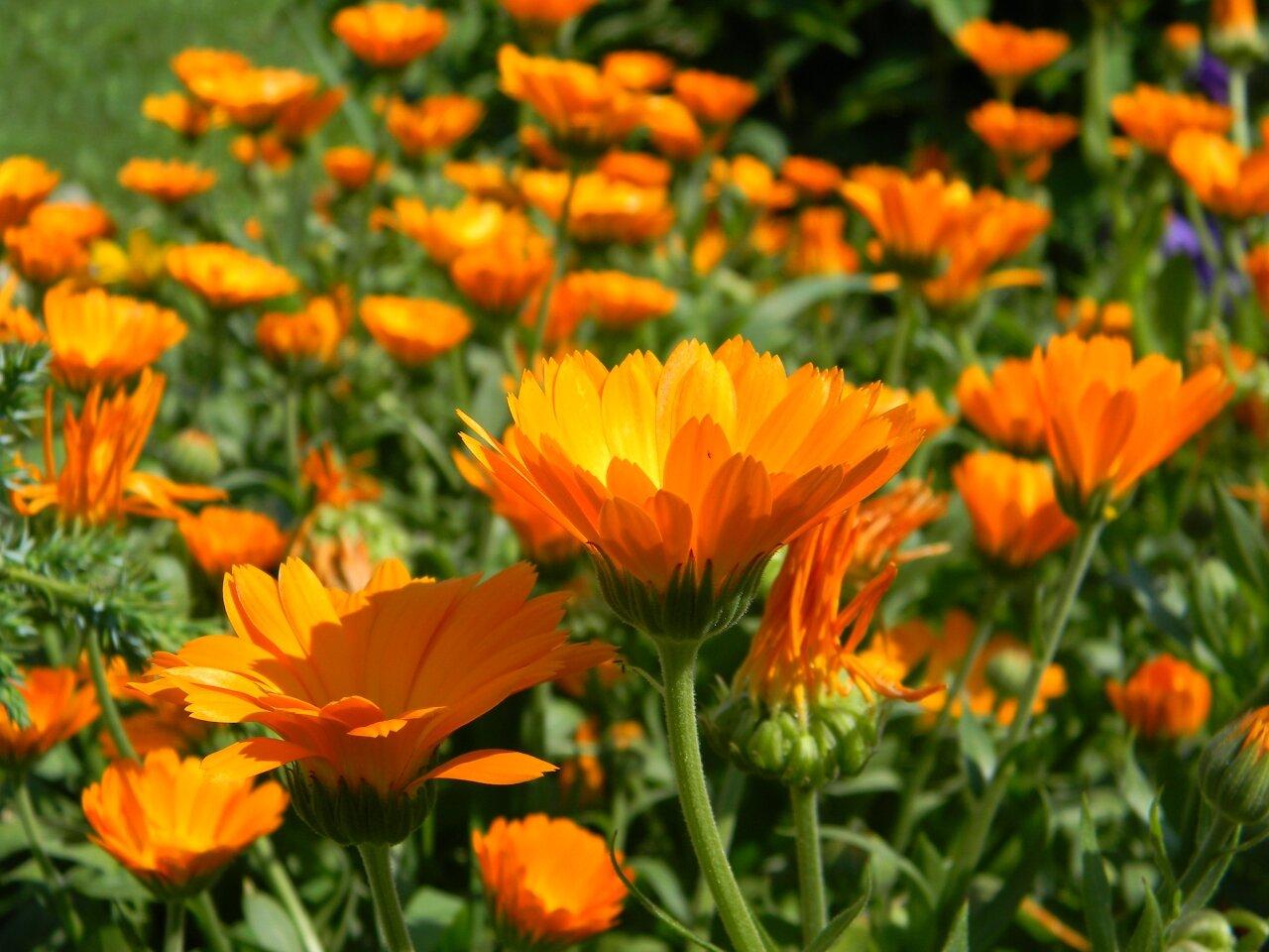 Растения противвредителей