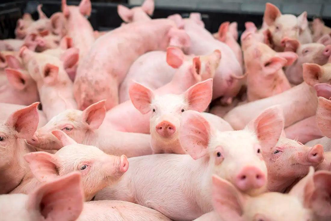 В Германии собираются бороться с АЧС с помощью трансгенных свиней