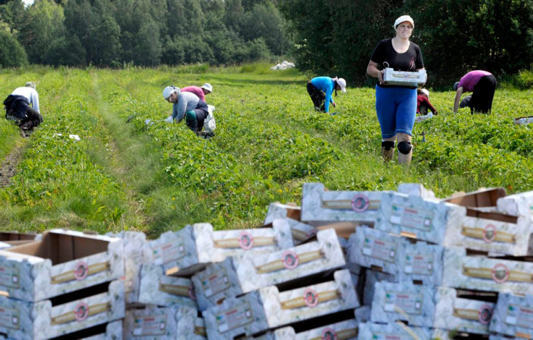 Война за руки на полях: аграрии переманивают сезонных работников