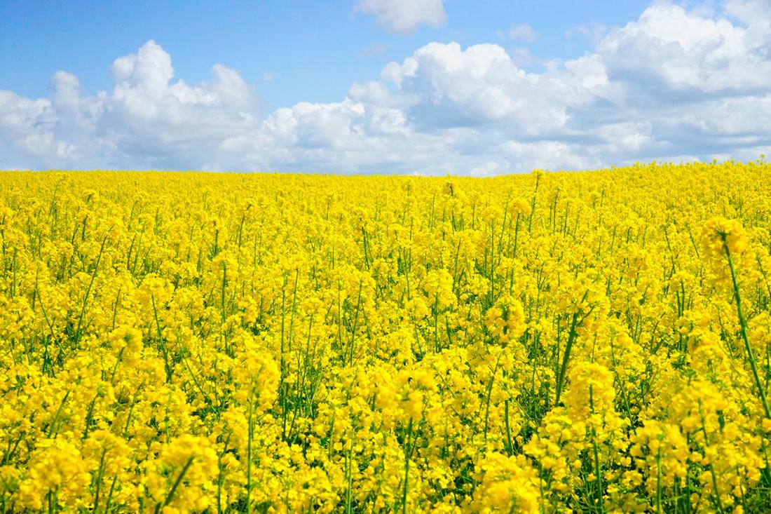 Доля экспорта украинского рапса в страны ЕС составила 94,2%