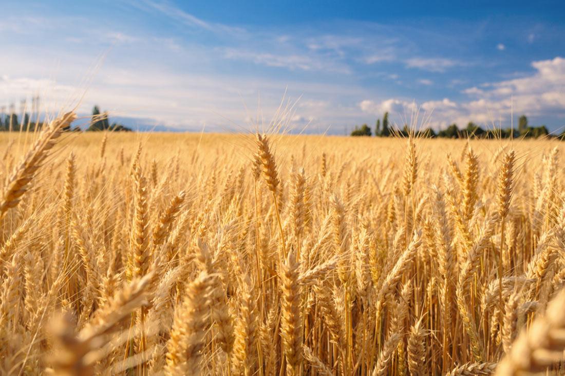 ЕС снизил пошлины на импорт зерновых, а МЭРТ отказалось публиковать данные по экспорту