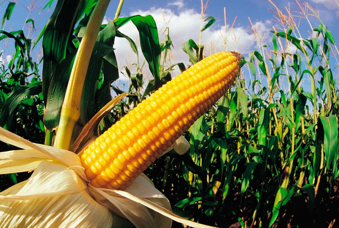 Идеальный силос: как определить время уборки кукурузы, правильно измельчить и утрамбовать