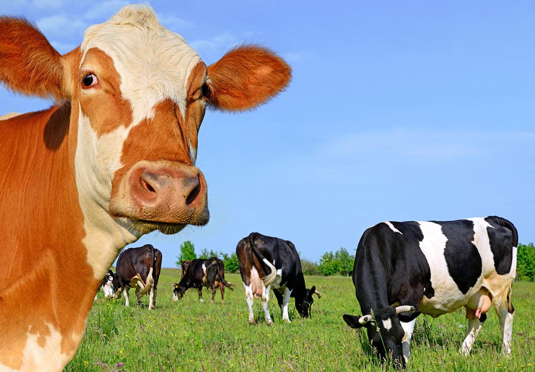 На Винничине стартовала роботизированная молочная ферма