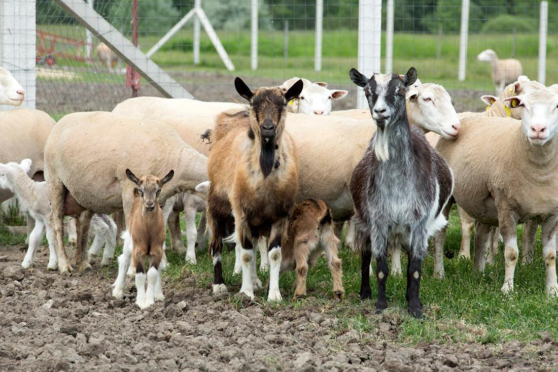 Поголовье овец и коз ощутимо сократилось