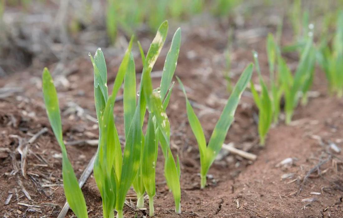 Убытки по зерновым в связи с засухой составили около 1 млн. га