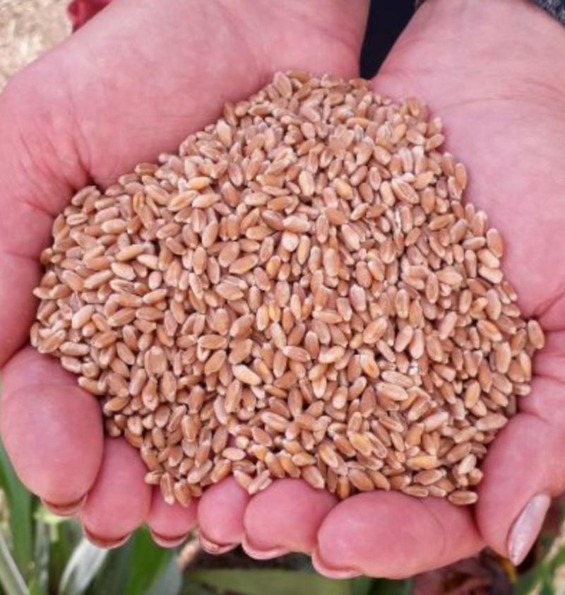Здорова — добре розвинена рослина, народжує на світ життєздатне, високоякісне зерно.Здорова — добре розвинена рослина, народжує на світ життєздатне, високоякісне зерно