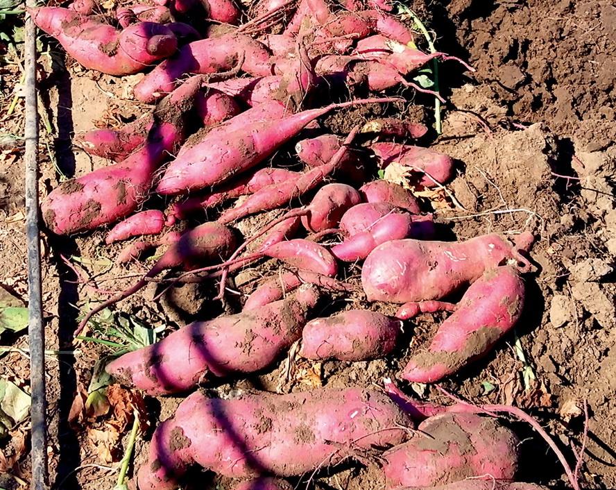Колорадский жук и фитофтороз ему не страшны: перспективы батата