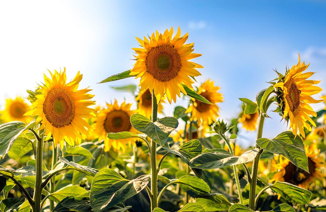 Невиліковна генетична хвороба атакує наш соняшник