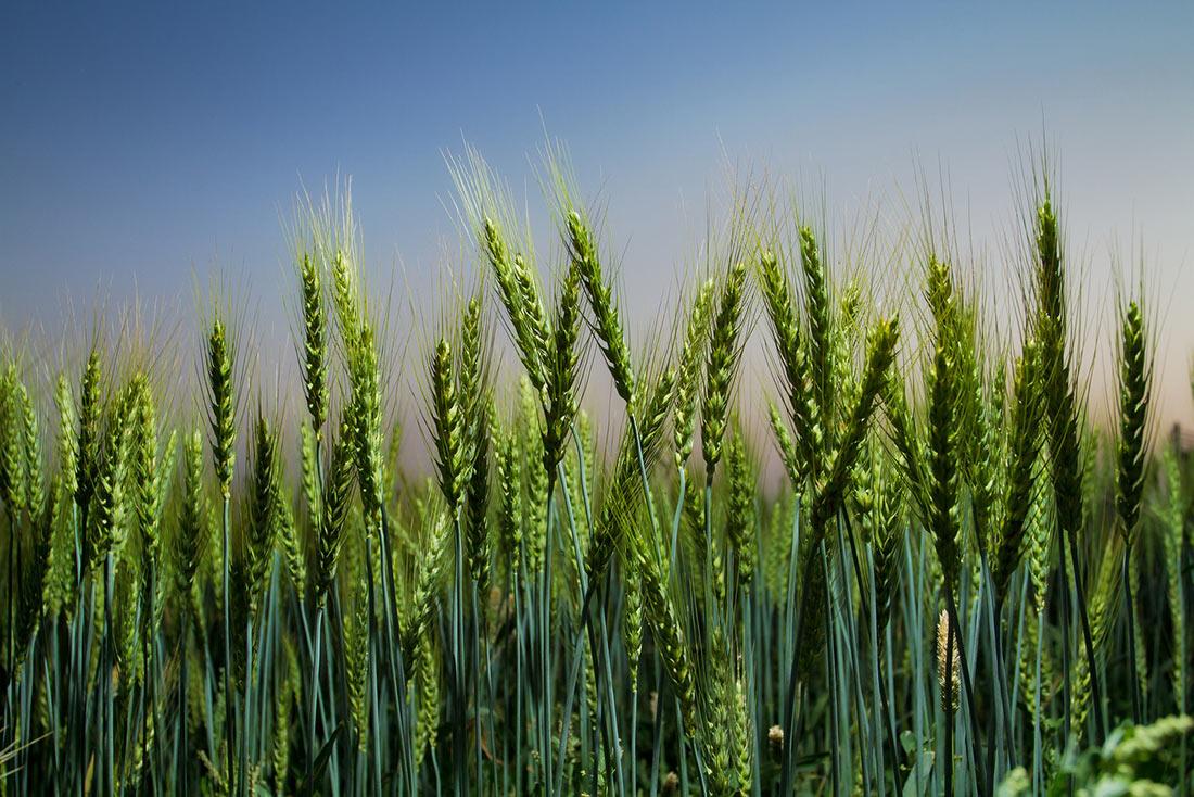 В прошлом году рентабельность выращивания пшеницы составила 7,3%