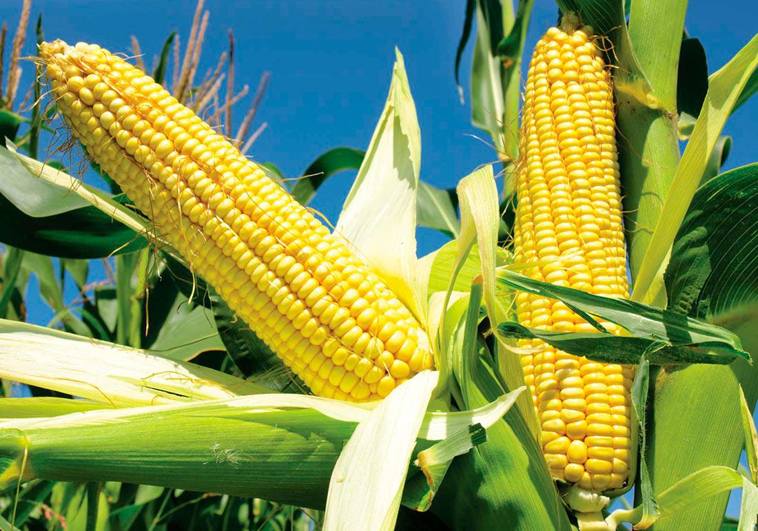 Вьетнам может отказаться от украинской кукурузы
