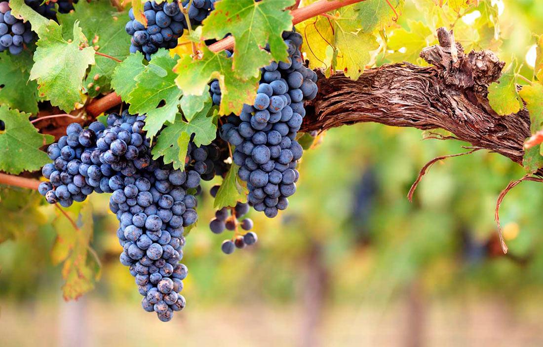Виноградники, що причаїлися в серці Карпат