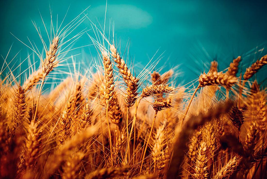 Аналитики поделились версией о причинах падения цен на пшеницу