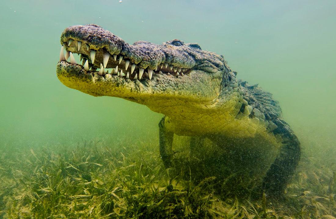 ЮАР хочет поставлять в Украину крокодилье мясо (ФОТО)