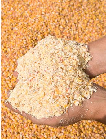 Перспективи використання вологого зерна кукурудзи
