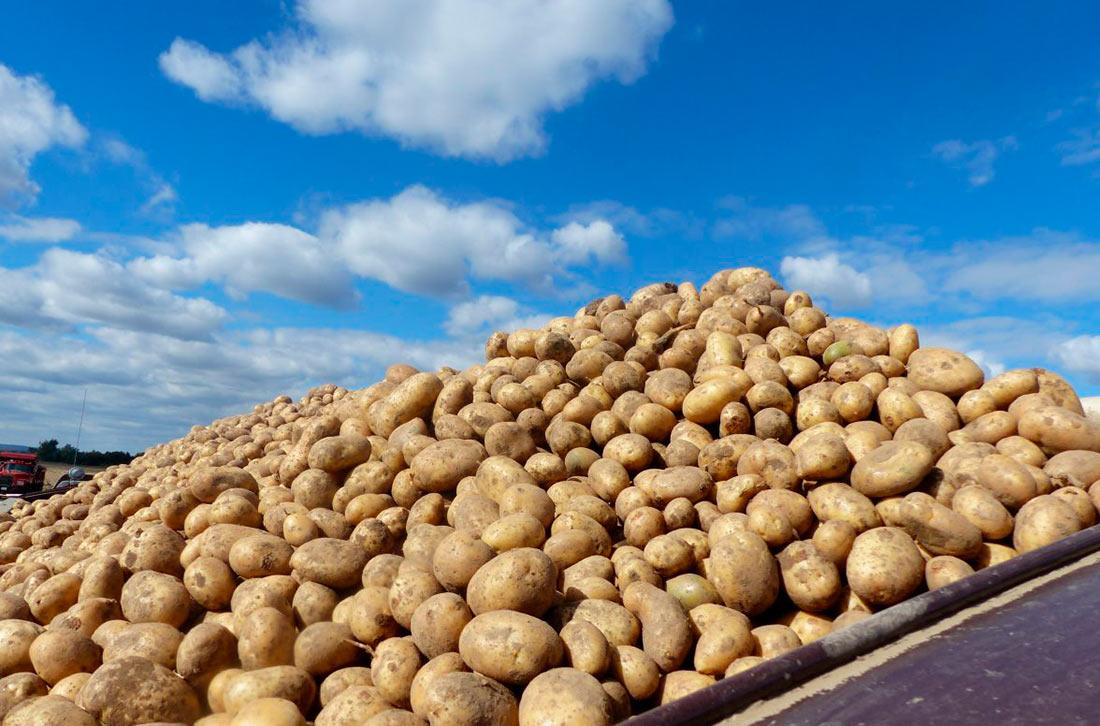 Государственная служба статистики отчиталась о сборе картофеля