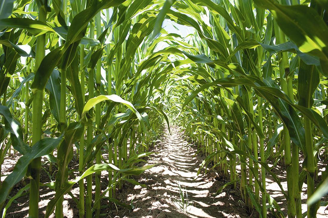 Кукурудза Brevant™ seeds: історія, сьогодення, перспективи