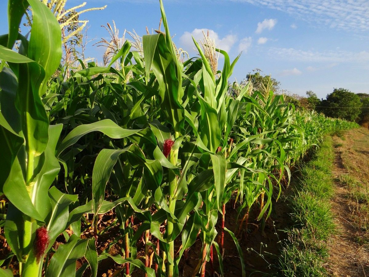 Еліот® ‑ сучасний захист кукурудзи від Agrosfera