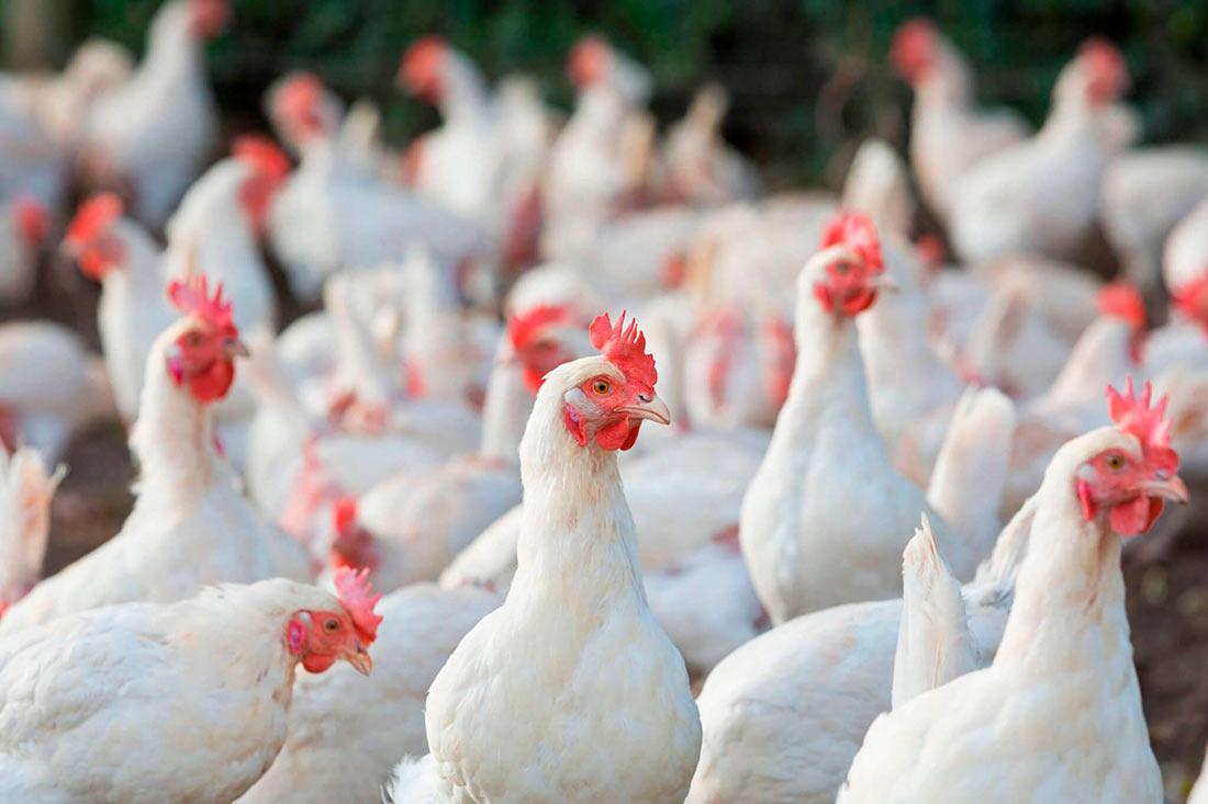 Карантин под Киевом: зафиксирована вспышка птичьего гриппа