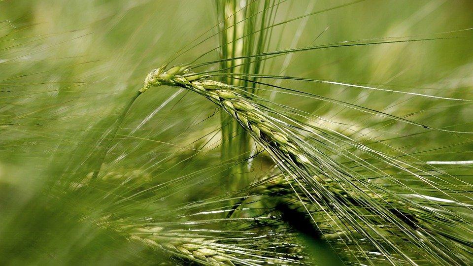 Захист ярого ячменю від компанії Agrosfera